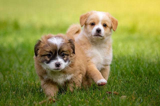 dvě štěňata
