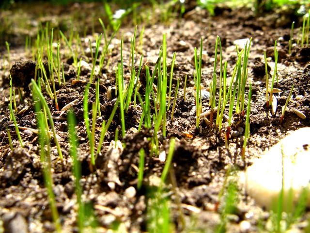 klíčící rostlinky obilí